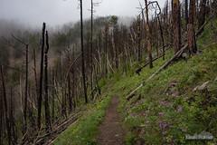 To Crow Peak (kevin-palmer) Tags: blackhills blackhillsnationalforest spearfish southdakota crowpeak june spring cold cloudy overcast fog foggy nikond750 tamron2470mmf28 trees burnt flowers wildflowers purple
