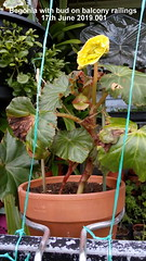 Begonia with bud on balcony railings 17th June 2019 001 (D@viD_2.011) Tags: begonia with bud balcony railings 17th june 2019