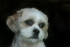 Mr Dudley (Jenny dot com) Tags: pet dog dudley cavatzu portrait animal