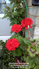 Geranium (Double red) on balcony railings 17th June 2019 001 (D@viD_2.011) Tags: geranium double red balcony railings 17th june 2019