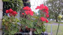 Geranium (Single & double red) on balcony railings 17th June 2019 (D@viD_2.011) Tags: geranium single double red balcony railings 17th june 2019