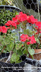 Geranium (Single red) on balcony railings 17th June 2019 002 (D@viD_2.011) Tags: geranium single red balcony railings 17th june 2019