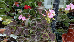 Geranium 'Black Prince' in Skimmia pot on balcony railings 17th June 2019 00 (D@viD_2.011) Tags: geranium black prince skimmia pot balcony railings 17th june 2019