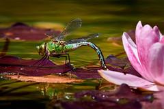 RM-2019-365-168 (markus.rohrbach) Tags: projekt365 natur tier insekt libelle pflanze wasserpflanze seerose