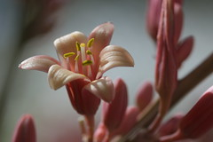 Aloe Flower (lars hammar) Tags: tohonochulpark tohonochul flower aloe pinkflower
