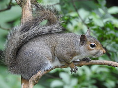 Grey Squirrel DSCN9817 (ianpreston) Tags: 2019 calkeabbey nationaltrust ticknall derbyshire greysquirrel