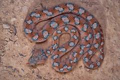 Echis coloratus terraesanctae (Matthieu Berroneau) Tags: sony alpha ff 24x36 macro nature wildlife animal fe sonya7iii sonya7mk3 sonyalpha7mark3 sonyalpha7iii a7iii 7iii 7mk3 sonyilce7m3 herp herping trip israel israël reptile reptilian reptilia serpent echis coloratus terraesanctae echiscoloratusterraesanctae echiscoloratus palestine sawscaled viper palestinesawscaledviper sawscaledviper ehpheeh eh phe 90 f28 g oss fe90f28macrogoss sonyfesonyfe2890macrogoss objectifsony90mmf28macrofe sel90m28g pink rose