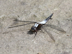 S_061719e (Eric C. Reuter) Tags: nature wildlife insects dragonflies hancock lake cabin ny catskills reservoir june 2019 061719