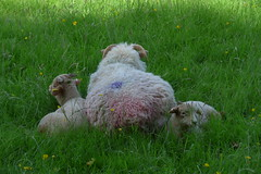 one plus two (photomaster22) Tags: sheep lamb lambs wool grass rest summer animals