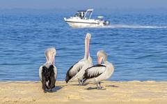 living with us - australian pelicans (Fat Burns ☮) Tags: australianpelican pelecanusconspicillatus pelican bird australianbird largebird fauna australianfauna buckleysholebeach bribisisland queensland australia nikond500 nikon200500mmf56eedvr wildlife australianwildlife