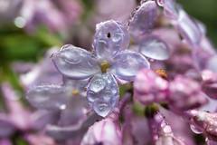 Rain on Lilacs, Dartmouth Nova Scotia (internat) Tags: 2019 canada novascotia ns halifaxharbour dartmouth lilac rain luminar