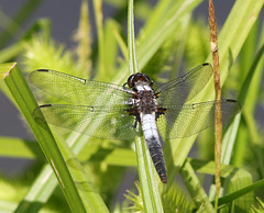 S_061719g1 (Eric C. Reuter) Tags: nature wildlife insects dragonflies hancock lake cabin ny catskills reservoir june 2019 061719