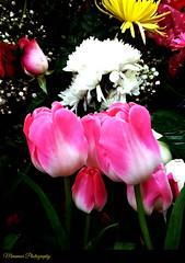 TULIPANES ROSADO INJERTO 2019 (MIMAMOR) Tags: mimamor tulipanes flor flores mimamorflores