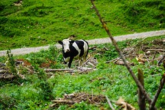 Schwarzweiß Fernseher — black and white watcher (goessmuehle) Tags: kuh cow rind weide alm gras grün kühe schwarzbunt rinder grasslands deutschesschwarzbuntesniederungsrind