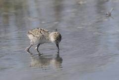 (nadiaorioliphoto) Tags: pullo birds animals aves uccelli cavaliereditalia deltadelpo nature fauna