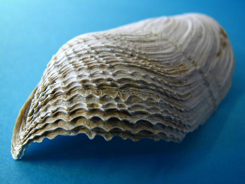 Sea shell (2)