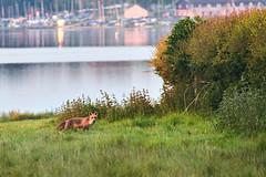 Early scavenging (P1n24) Tags: wildlife fox nature food morning lake shore rutland rutlandwater oakham edithweston anglian water animal fullframe