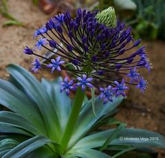 Crowning (Modesto Vega) Tags: nikon nikond600 d600 fullframe flower garden greenhouse botany crown