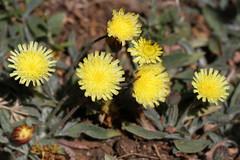 Pilosella castellana (Wild Chroma) Tags: flora spain sierranevada asterales pilosella castellana pilosellacastellana