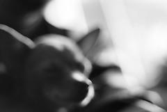 warm dreams... (Dmitry_Pi) Tags: pentacon praktica mtl 5b pixie dog relax portrait austria österreich russkiytoy pet toy animal monochrome meyeroptik görlitz primotar ilford ilfordfp4