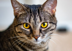 Tiger-1 (Robert M. Williams) Tags: cat pet canont6