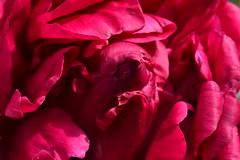Rouge (Jeanne Menjoulet) Tags: fleur flower peony pivoine rouge red
