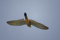 Обыкновенная пустельга, Falco tinnunculus tinnunculus, Common Kestrel (Oleg Nomad) Tags: обыкновеннаяпустельга falcotinnunculustinnunculus commonkestrel птицы москва bird aves moscow