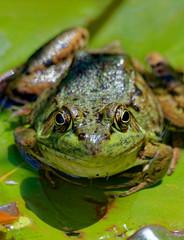 T'as de beaux yeux, tu sais! (Daniel Lebarbé) Tags: jardinbotaniquedemontréal montrealbotanicalgarden grenouille frog nénuphar waterlily vert green oeil yeux eye