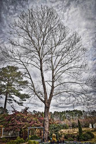 'Moon Tree' -- Birmingham Botanical Gardens (AL) February 2019