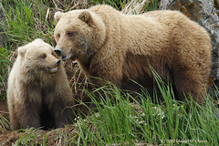 Teenagers don't take directions kindly... (danielusescanon) Tags: alaska peninsula brownbear wild ursusarctosgyas grizzly sow cub female lakeclarknationalpark standing interaction