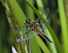 Four Spotted Chaser 1 17 June 2019 (Tim Harris1) Tags: nikond7100 nikkor80400afs norfolk fourspottedchaser dragonfly sculthorpemoor