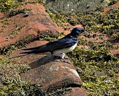 Swallow 17 June 2019 (Tim Harris1) Tags: nikond7100 nikkor80400afs norfolk swallow bird helhoughton