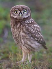 Project 2019 - Little Owls (eric-d at gmx.net) Tags: littleowl athenenoctua steinkauz owl eule strigidae eric wildlife birds