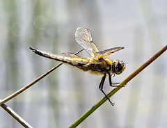 Four Spotted Chaser 5 17 June 2019 (Tim Harris1) Tags: nikond7100 nikkor80400afs norfolk fourspottedchaser dragonfly sculthorpemoor