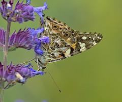Painted Lady 7 17 June 2019 (Tim Harris1) Tags: nikond7100 nikkor80400afs norfolk paintedlady butterfly insect animal helhoughton