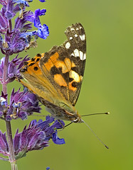 Painted Lady 6 17 June 2019 (Tim Harris1) Tags: nikond7100 nikkor80400afs norfolk paintedlady butterfly insect animal helhoughton