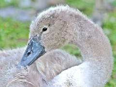 Cygnet, Abbey Park, Leicester (kev747) Tags: cygnet swan bird abbeypark leicester