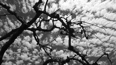 Crackle (Rand Luv'n Life) Tags: odc our daily challenge dead burnt tree silhouette branches puffy clouds background sky monochrome blackandwhite outdoors james hubbell ranch