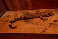 Gecko (photo du chaleins) Tags: colombia bahiasolano elalmejal elvalle selva chocó fauna animals animales wildlife photo photography wildlifephotography nature nikonista nikon nikon3400 naturaleza animal travel outdoor fotografia foto viaje