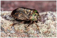 Bug / Chinche (Panama Birds & Wildlife Photos) Tags: macro macrophotography macrowildlife insect insects insecto insectos coleoptera coleóptero escarabajo beetle