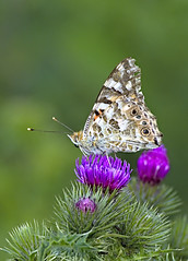 Painted Lady 8 17 June 2019 (Tim Harris1) Tags: nikond7100 nikkor80400afs norfolk paintedlady butterfly insect animal sculthorpemoor