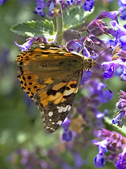 Painted Lady 5 17 June 2019 (Tim Harris1) Tags: nikond7100 nikkor80400afs norfolk paintedlady butterfly insect animal helhoughton