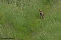 lucky fox (RCB4J) Tags: irvinebeach sonyslta77v sonydt18250mmf3563 sonyalpha rcb4j ronniebarron art photography ayrshire ayrshirecoast scotland nature wildlife on1 on1pics fox vulpesvulpes naturethroughthelens