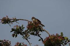 White throat (jon lees) Tags: newtownards countydown northernireland whitespots lead mines whitethroat warbler