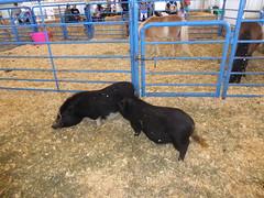 Piglets (c_nilsen) Tags: sanmateocounty sanmateo sanmateocountyfair california digital digitalphoto pig piglet