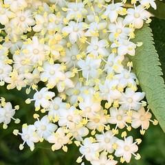 Elderberryflower (Paula_O) Tags: nature flowering summer flower elderberryflower