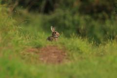 European rabbit (jon lees) Tags: newtownards countydown northernireland whitespots lead mines europeanwildrabbit