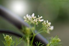 Bright light... (Maria Godfrida) Tags: weeklythemechallenge macroflower flowers white flora nature plants green bokeh light bright closeup macro backlight backlit dark