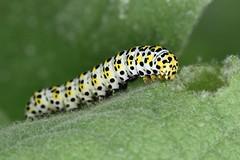 Cucullia verbasci (lloyd177) Tags: fontmell down dorset cucullia verbasci the mullein moth
