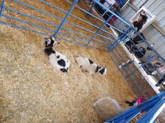 Tonka and Tacoma the goats with Wildflower the lamb (c_nilsen) Tags: sanmateocounty sanmateo sanmateocountyfair california digital digitalphoto goat sheep lamb